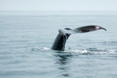 Humpback Whale - Brier Island, Nova Scotia