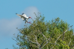 Ibis - Venice Rookery, Florida