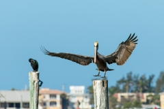 Brown Pelican - Cortez, Florida
