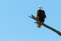 Bald Eagle - Sheffield Mills, Nova Scotia