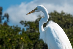 Great Egret - Cortez, Florida