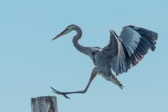 Great Blue Heron - Cortez, Florida