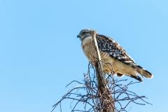 Hawk - Venice Rookery, Florida