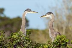 Great Blue Herons - Venice Rookery - Florida
