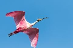 Roseate Spoonbill - Cortez, Florida