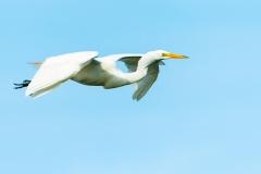 Great Egret - Venice Rookery, Florida