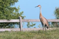 Sandhill Crane - Celery Fields - Sarasota, Florida