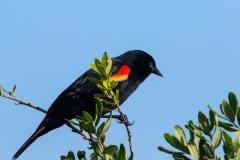 Red-winged Blackbird - Celery Fields- Sarasota, Florida