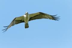 Osprey - Celery Fields - Sarasota, Florida