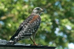 Hawk - Sarasota, Florida