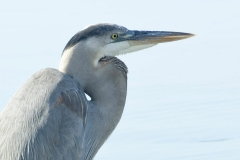 Great Blue Heron - Cortez, Florida