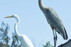 Great Egret and Great Blue Heron - Cortez, Florida