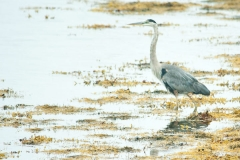 Great Blue Heron - Sober Island, Nova Scotia