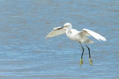 Snowy Egret - Cortez, Florida