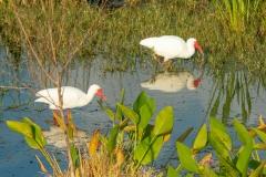 Ibis - Celery Fields - Sarasota, Florida