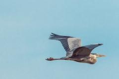 Great Blue Heron - Venice Rookery, Florida