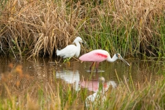 Snowy  Egret and Roseate Spoonbill - Celery Fields - Sarasota, Florida