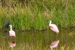 Roseate Spoonbills - Celery Fields - Sarasota, Florida