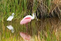 Roseate Spoonbill - Celery Fields - Sarasota, Florida