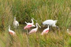 Roseate Spoonbills and Wood Storks - Celery Fields - Sarasota, Florida