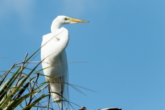 Great Egret - Venice Rookery, Florida