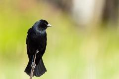 Red - Winged Blackbird - Miner's Marsh, Kentville, Nova Scotia