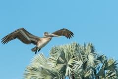 Brown Pelican - Cortez, Florida