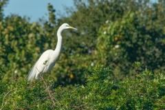 Egret - Venice Rookery, Florida