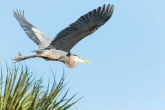 Great Blue Heron - Venice Rookery, Florida