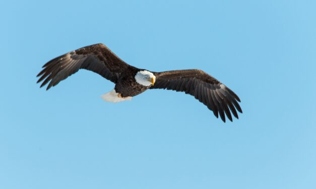 The Bald Eagles of Sheffield Mills